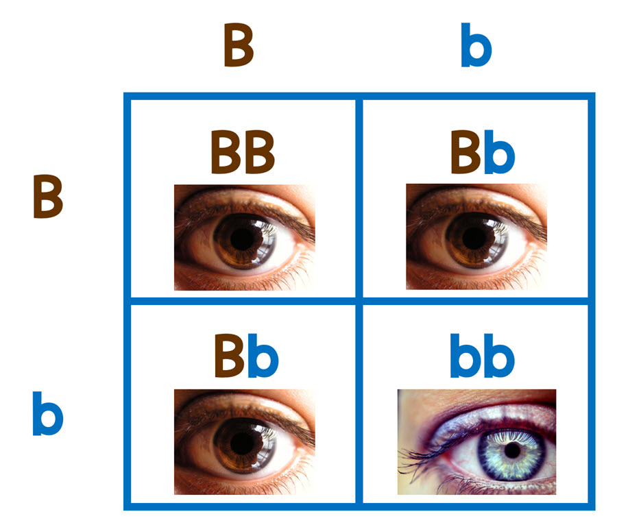 punnett square with blue and brown eyes